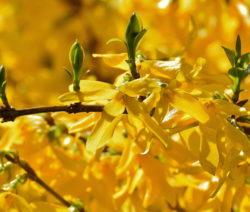Forsythie Ast Gelbe Blüten Knospen