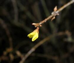 Forsythie Ast Gelbe Blüten Ansatz