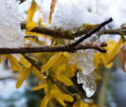 Forsythie Ast Gelbe Blüten Schnee