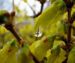 Forsythie Blüten Geschlossen Nass