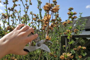 Hibuskus Zurückschneiden Mit Gartenschere Hand Hält Gartenschere