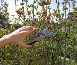 Hibiskus Schneiden Mit Gartenschere In Hand