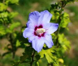 Hibiskus Blüte Blau