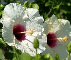 Hibiskus Blüte Weiß