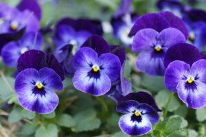 Hornveilchen Violett Blau