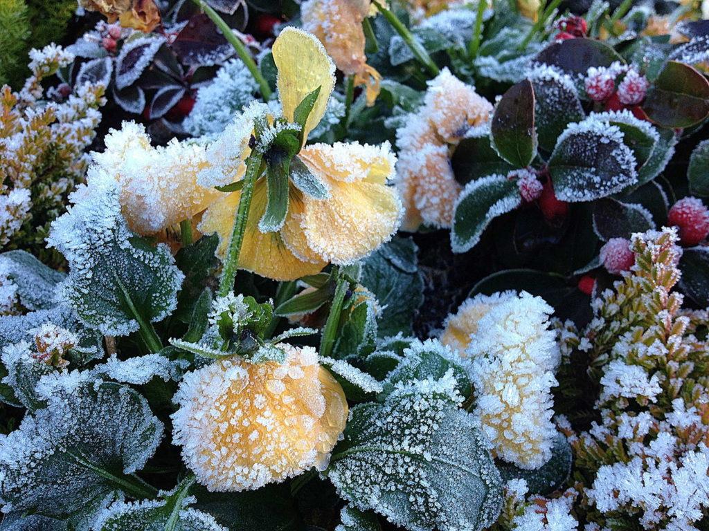 Hornveilchen Frost