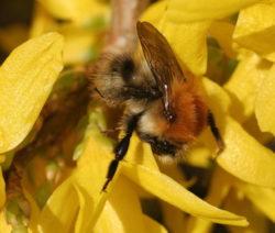 Biene Auf Forsythie