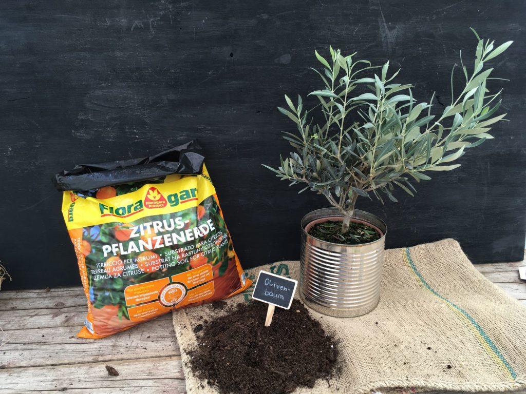 Olivenbaum im Topf mit Erde