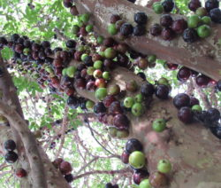 Jabuticaba Brasilianischer Traubenbaum