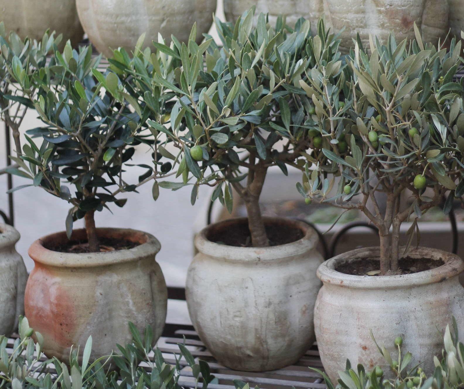Beliebt Olivenbaum: Alles zum Pflanzen, Pflegen & Überwintern - Plantura PU38