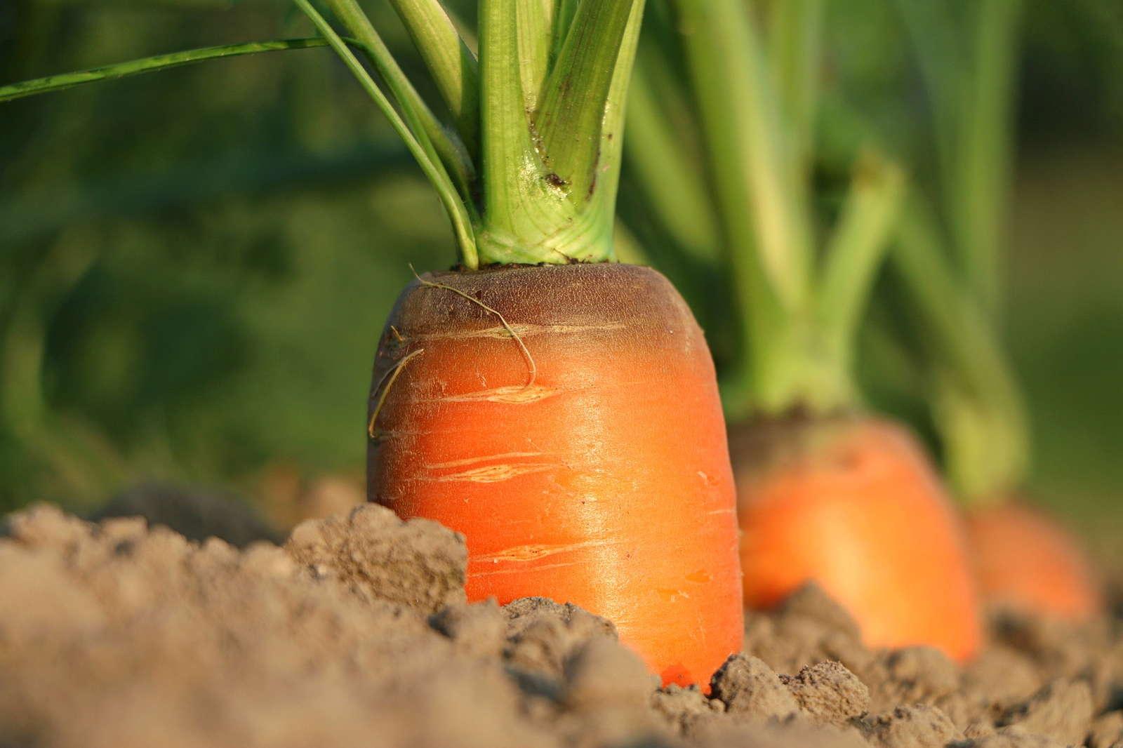 Fabelhaft Karotten pflanzen und anbauen: Experten-Tipps - Plantura @QM_02