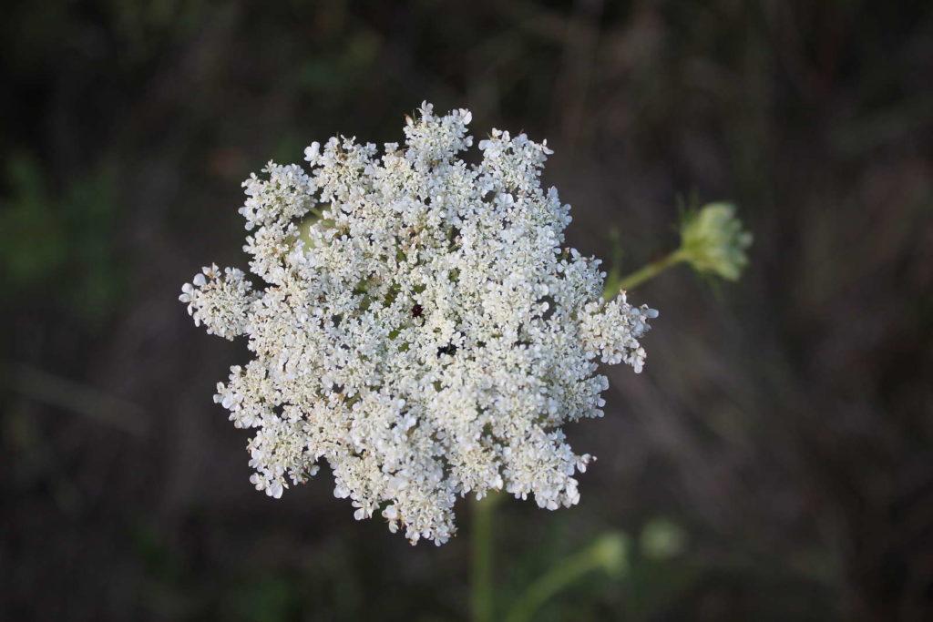 Karotte Blüte weiß