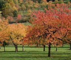 Kirschbäume Herbst