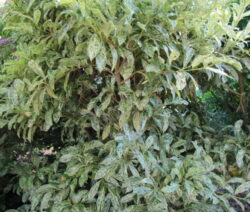 Kirschlorbeer Blätter 2