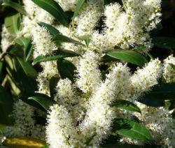 Kirschlorbeer Blätter Und Blüten