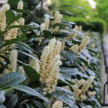 Kirschlorbeer Hecke Mit Blüten