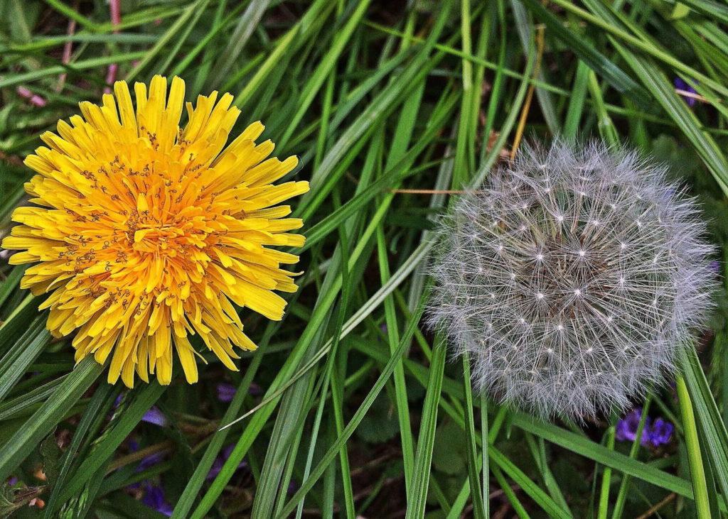 Löwenzahn Blüte Pusteblume