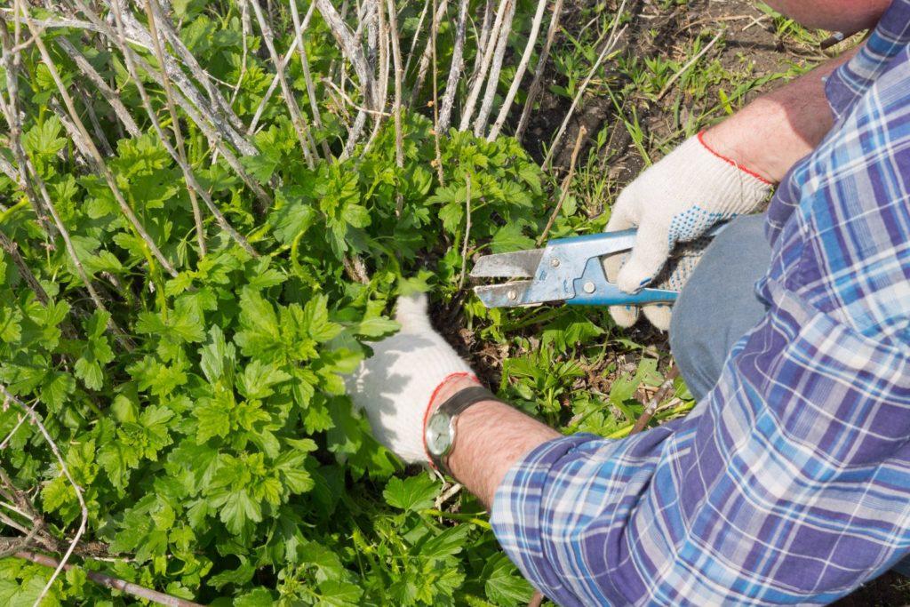 Mann schneidet Bodentriebe an Stachelbeere