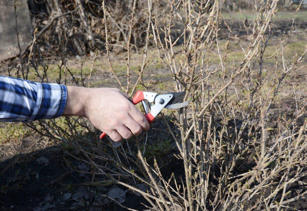 Geliebte Stachelbeeren schneiden: Profi-Tipps zum Beschneiden - Plantura #CF_59