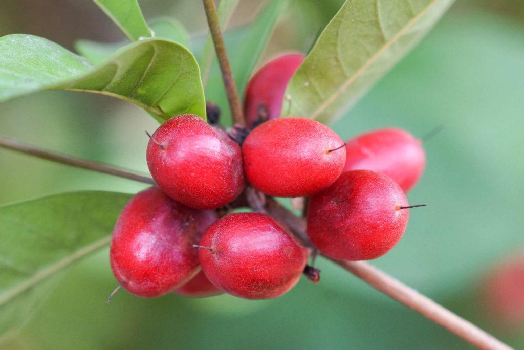 Mirakelfruchtmit roten Früchten