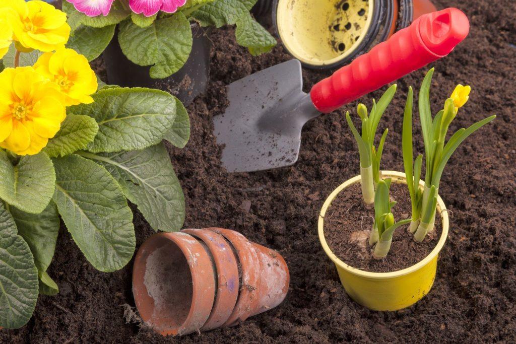 Narzisse und Primeln auspflanzen