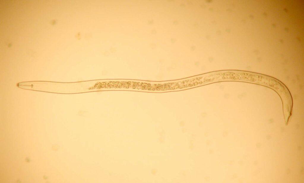 Nematode Fadenwurm