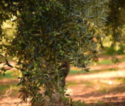 Olive Äste Mit Reifen Oliven