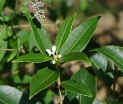 Oliven Blüte Blätter