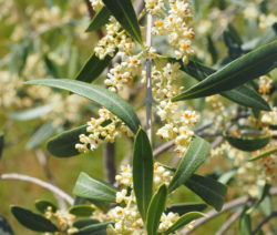 Oliven Blüte An Ast Mit Blättern