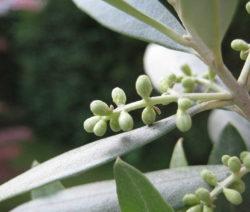 Oliven Knospe