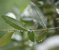 Oliven Zweig