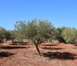 Olivenbäume In Der Sonne Trockener Boden
