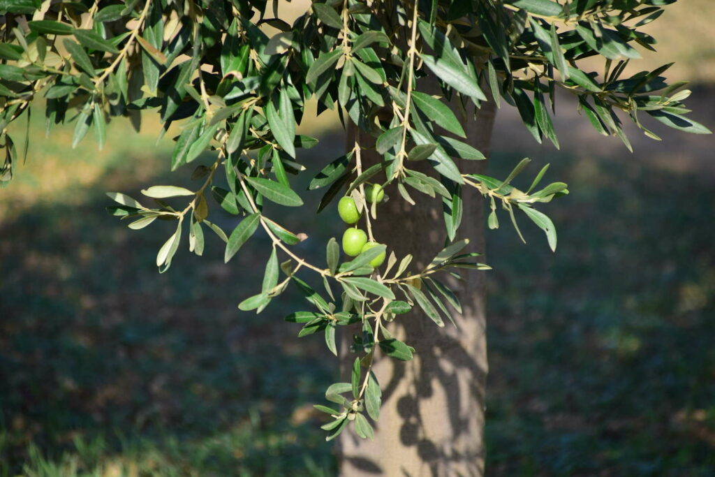 Olivenbaum: Alles zum Pflanzen, Pflegen & Überwintern