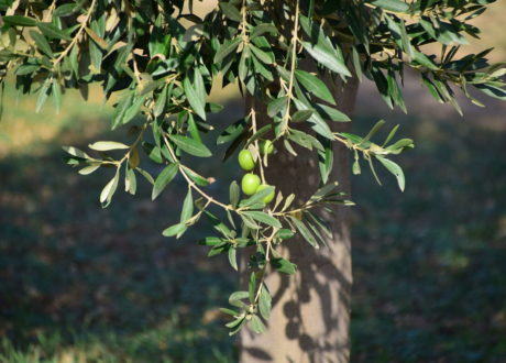 Olivenbaum Ast Mit Unreifen Oliven