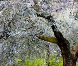 Olivenbaum 8