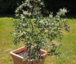 Olivenbaum Topf