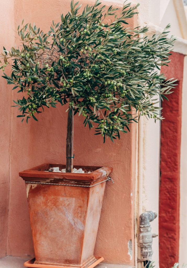 Olivenbaum im Topf mediterran