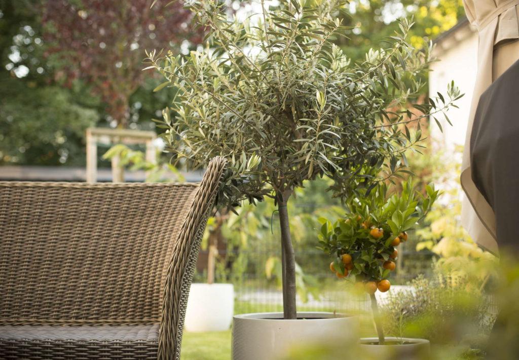 Olivenbaum im Topf im Garten