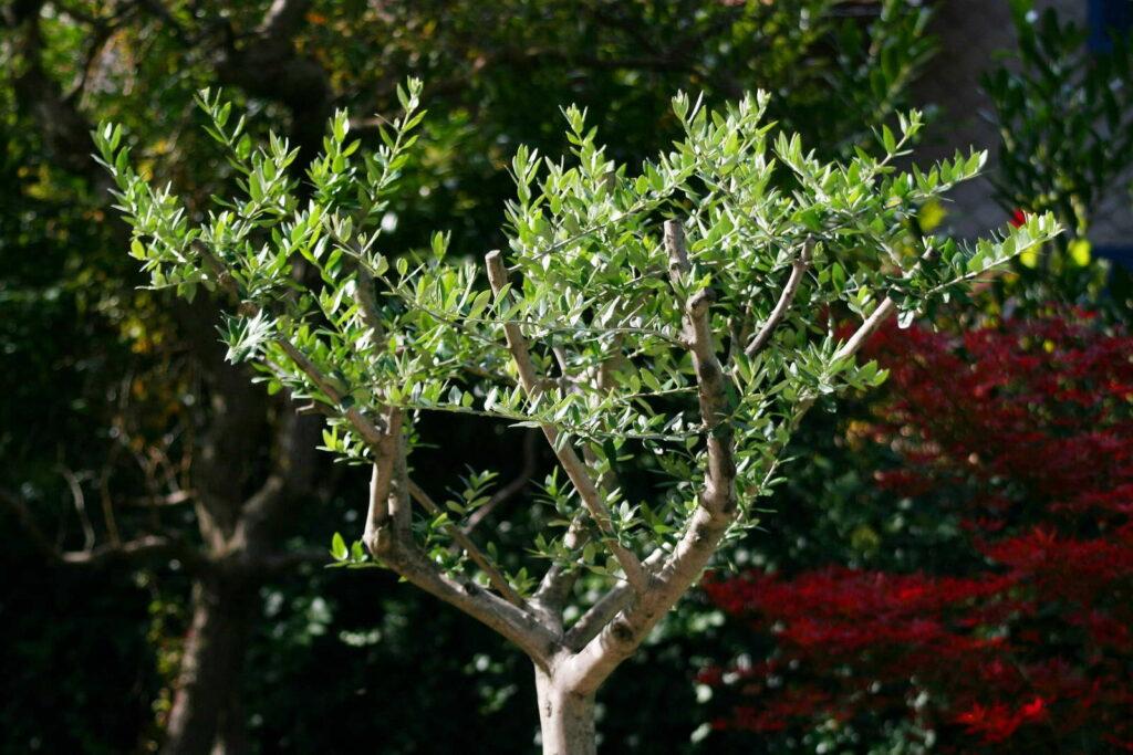 olivenbaum schneiden zeitpunkt experten anleitung plantura. Black Bedroom Furniture Sets. Home Design Ideas