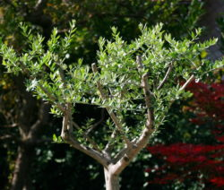 Olivenbaum Scheniden Erziehungsschnitt
