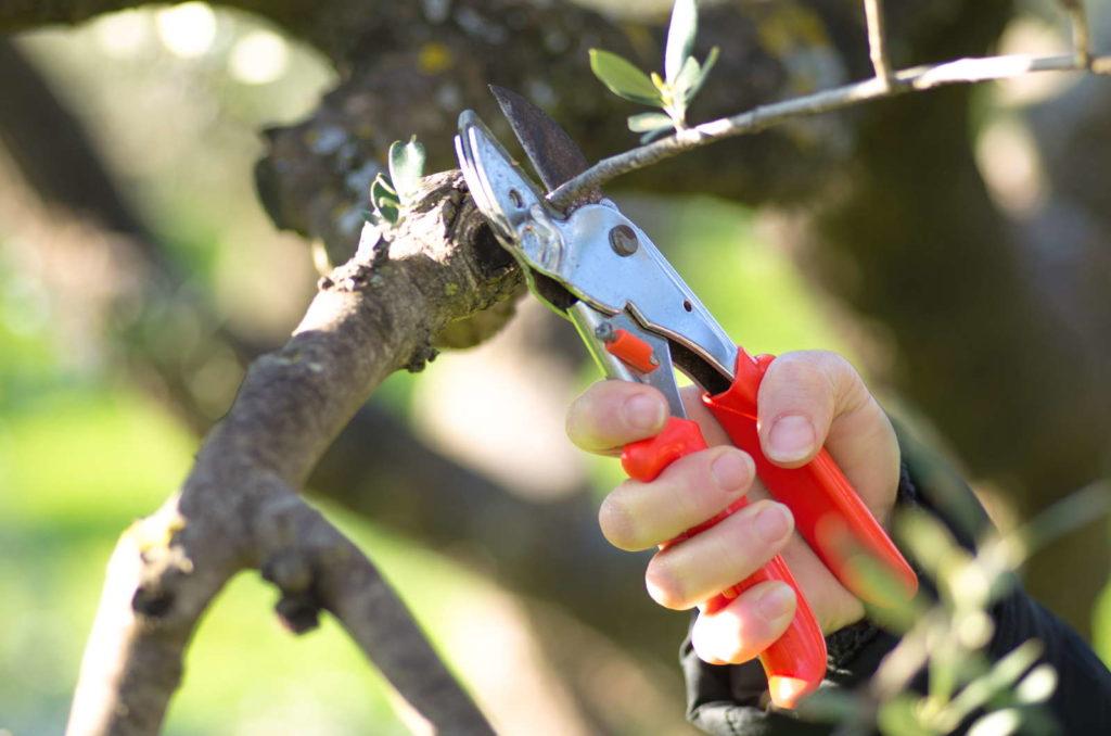 Olivenbaum wird mit Gartenwerkzeug geschnitten