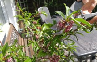 hortensiensorten die sch nsten hortensien arten plantura. Black Bedroom Furniture Sets. Home Design Ideas