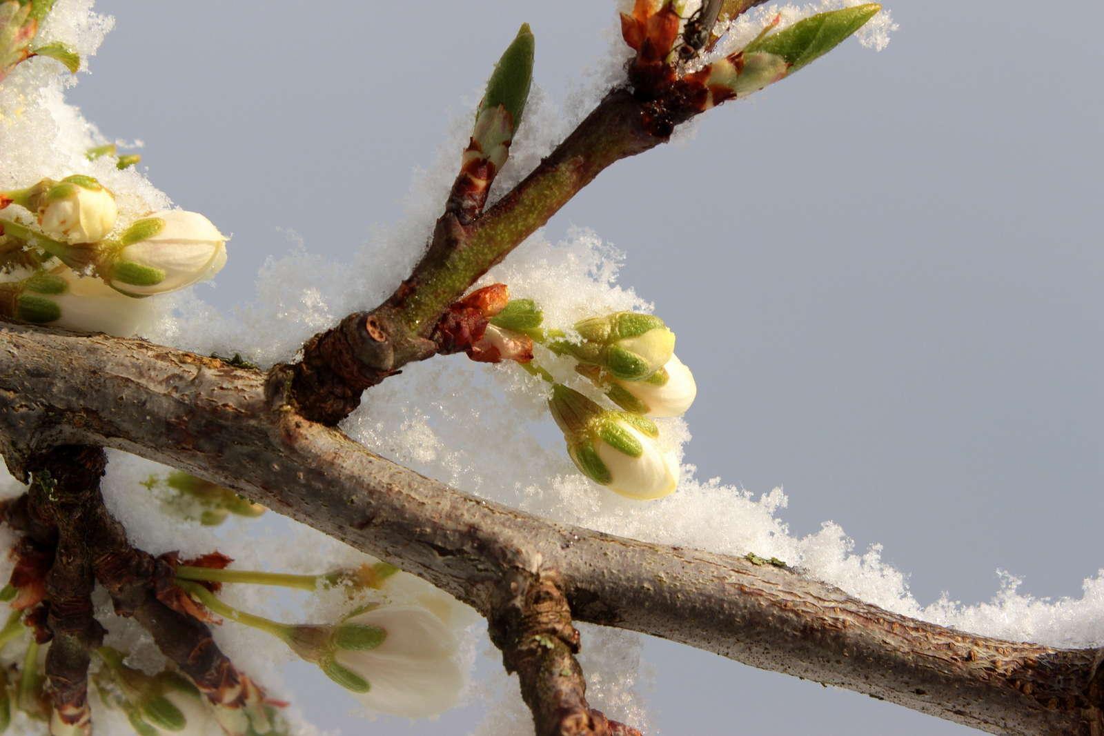 Pflaumenbäume Schneiden pflaumenbaum schneiden tipps vom experten plantura