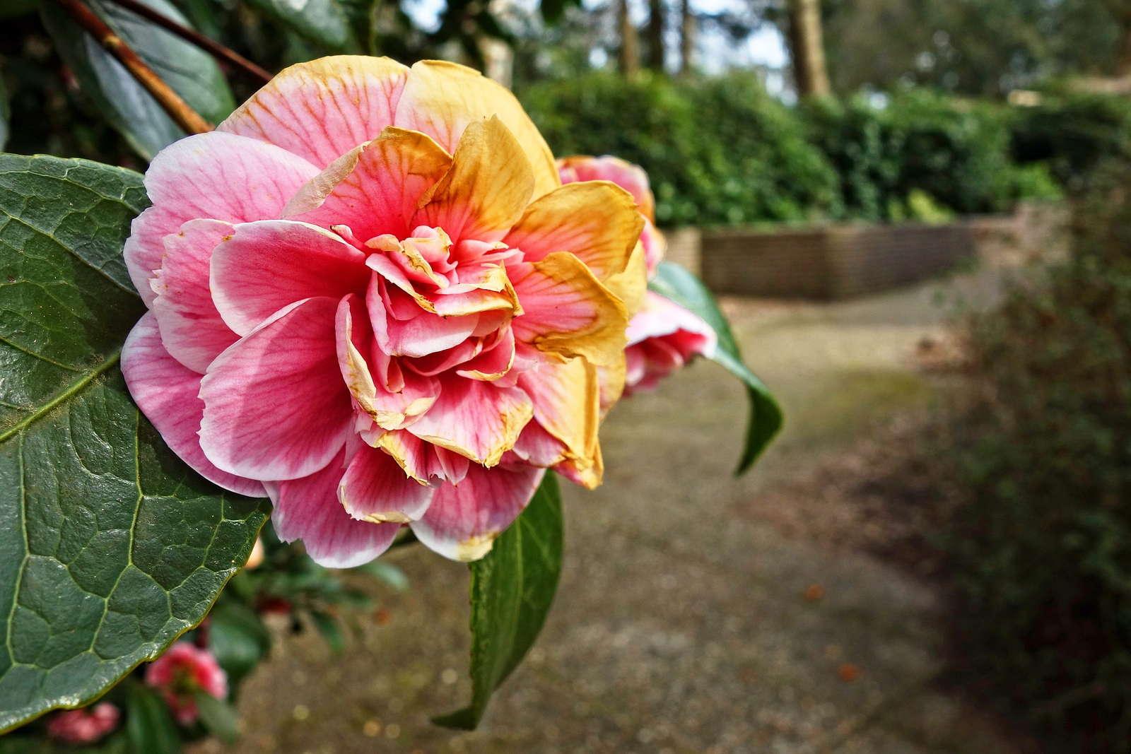 rhododendron schneiden wann und wie richtig schneiden. Black Bedroom Furniture Sets. Home Design Ideas