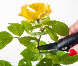 Rose Schneiden Schere