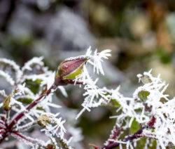 Rose Winter 1