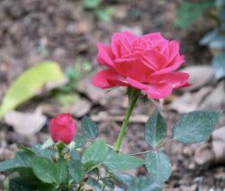 Rose Im Beet