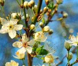 Sauerkirsche Blüte