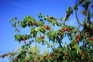Sauerkirschen Baum