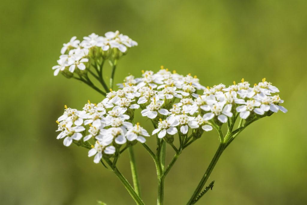 Schafsgarbe Blüte nah in der Wiese